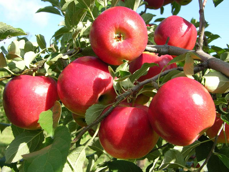 appleą
